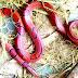 বিরল প্রজাতির সাপ দেখা মিলেছে বাংলাদেশ  শ্রীমঙ্গলে