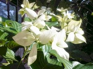 Jual Pohon Nusa Indah