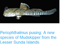http://sciencythoughts.blogspot.co.uk/2016/08/periophthalmus-pusing-new-species-of.html