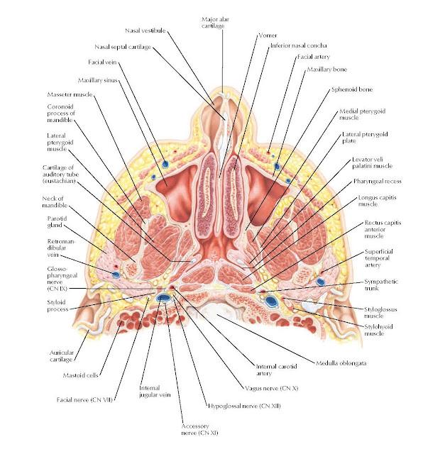 Nose and Maxillary Sinus: Transverse Section ANATOMY