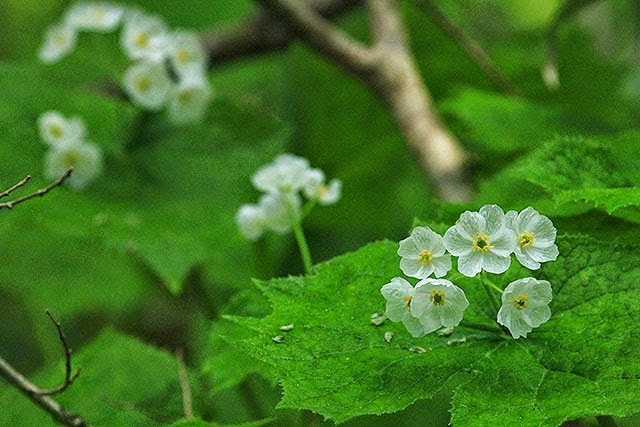 37 Diphylleia grayi, Bunga Ini Akan Berubah Transparan Jika Terkena Air