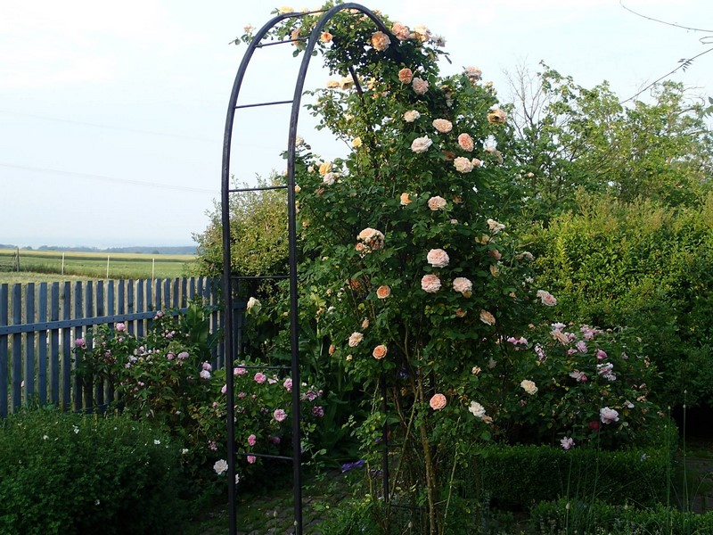 Rosa ´Westerland´