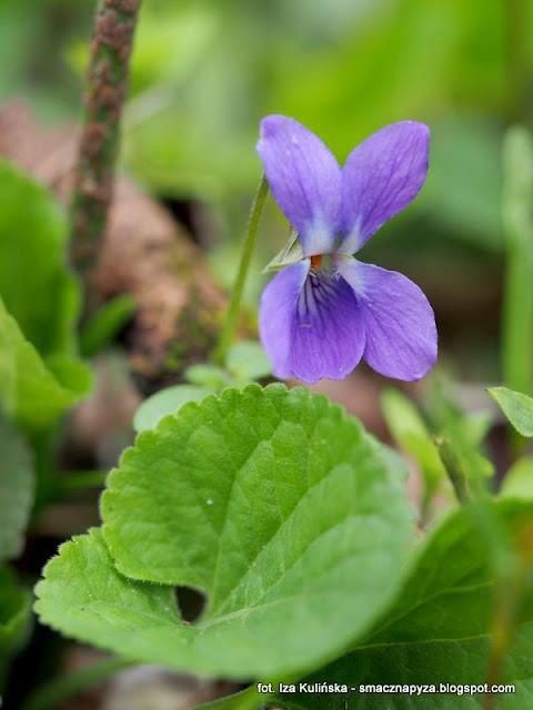 kwiaty wiosenne, kwiatek, fiolki, rosliny jadalne, kwiaty jadalne, las, spacer, las bemowski, prosto z lasu