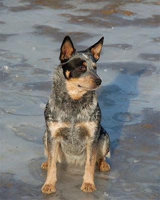 Cachorrosblogs Australian Cattle Dog Cachorros