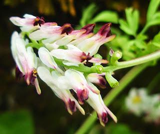 Fumaria (Fumaria capreolata)
