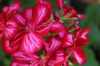 Descubra 20 de flores comestíveis que pode encontrar no seu jardim