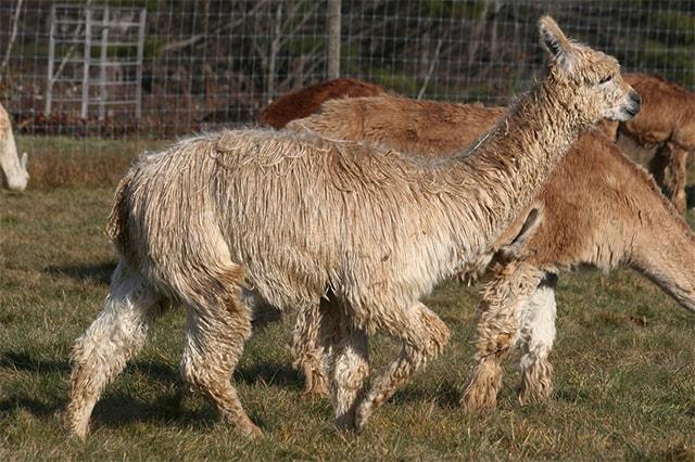 The Suri Alpaca