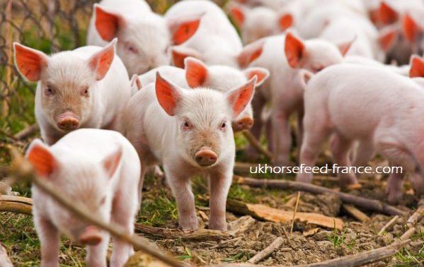 hukum makan daging babi, cara bertaubat setelah makan makanan haram, hukum menyentuh daging babi, hukum makan babi dengan sengaja, misteri babi, babi menurut rasulullah, cara menghilangkan makanan haram dalam tubuh, kisah babi zaman nabi,