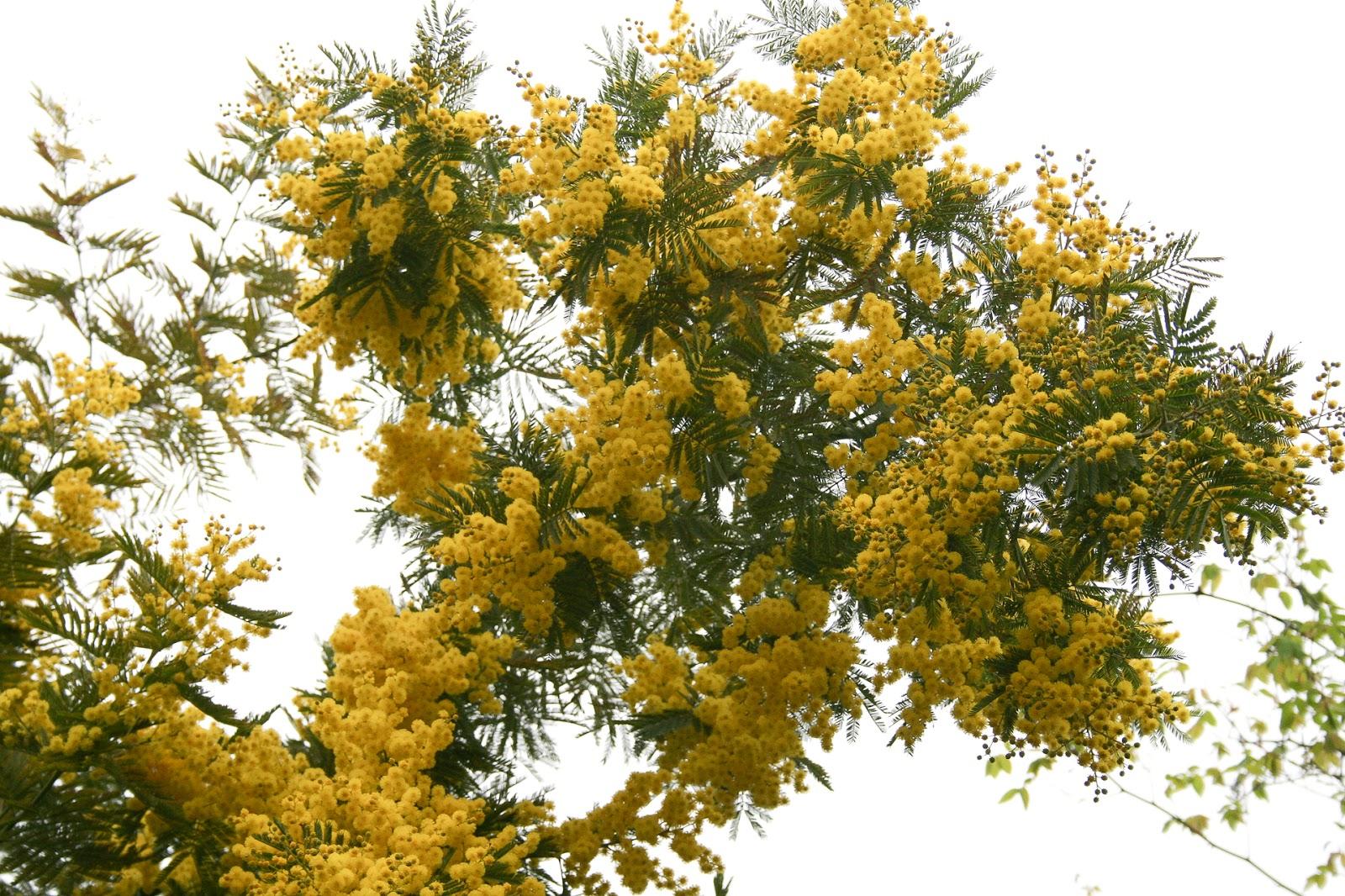 http://4.bp.blogspot.com/-dvLJRiFRWco/TZXOdsymbWI/AAAAAAAAAII/CW-WqBWFEr8/s1600/Mimosa.jpg