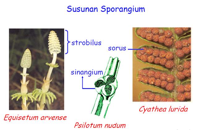 sporangium adalah,sporangium paku,sporangium paku bertumpuk dalam suatu badan yang disebut,sporangium tumbuhan lumut tersusun dari bagian bagian,sporangium lumut,sporangium yang terletak di permukaan daun (sorus) dapat dijumpai pada jenis tumbuhan paku,sporangium yang terletak di permukaan daun,sporangium menghasilkan,sporangium pada lumut,sporangium dan sporangiospora,sporangium annulus,sporangium aspergillus,sporangium apa,sporangium apa itu,sporangium dan sporogonium,sporangium and rhizopus,sporangium and conidiophores,a sporangium is an aggregation of strobili,a sporangium fungus obtains food by,a sporangium fungus reproduces by,a sporangium in which zygospores are produced,is a sporangium haploid or diploid,function of a sporangium,the sporangium of a moss,whats a sporangium,what is a sporangium quizlet,sporangium bryophyta,sporangium basidiomycotina,sporangium bertangkai,sporangium brainly,sporangium berbentuk seperti kantong,sporangium berwarna,sporangium berumah berapa,sporangium bagian,sporangium capsule,sorangium cellulosum,sporangium cryptococcus,sporangium contains,sporangium contains capillitium,sporangium conidia,sporangium condition,sporangium cell,sporangium conidium,sporangium cell division,sporangium dibentuk di dalam,sporangium ditunjukkan oleh nomor,sporangium dan sporangiofor,sporangium definition,sporangium dan konidium,sporangium diploid or haploid,sporangium dan sporofit,sporangium example,sporangium eesti,sporangium ehk,sporangium endospore,sporangium etymology,sporangium en français,sporangium elaters,pada sporangium equisetum terdapat struktur yang berbentuk kerucut yang dinamakan,eusporangiate sporangium,sporangium fungsi,sporangium fungsinya,sporangium fungi,sporangium function,sporangium fern,sporangium fungi definition,fungsi sporangium pada jamur,fungsi sporangium pada lumut,fungsi sporangium pada tumbuhan paku,fungsi sporangium pada jamur tempe,sporangium globuler,sporangia gametangia,sporangium gametophyte or sporophyte,sporangium g