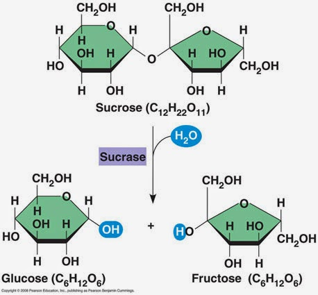 Maltose And Water React To Form Two Molecules Of Glucose In What Process 53