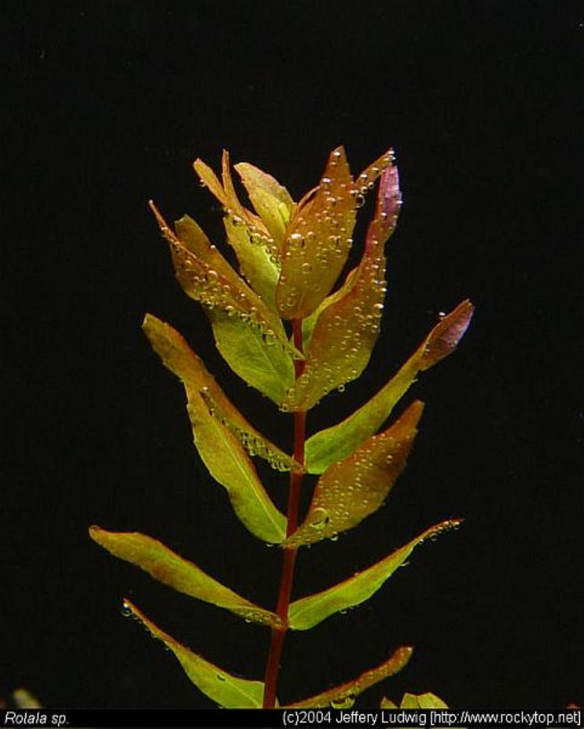 Cận cảnh cây thủy sinh thanh hồ điệp