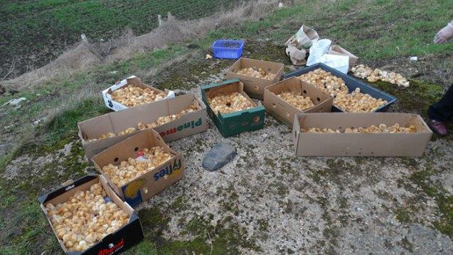 1000 polluelos abandonados