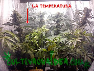 temperatura marihuana