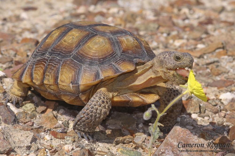 Desert Tortoise | Info and Photos | The Wildlife