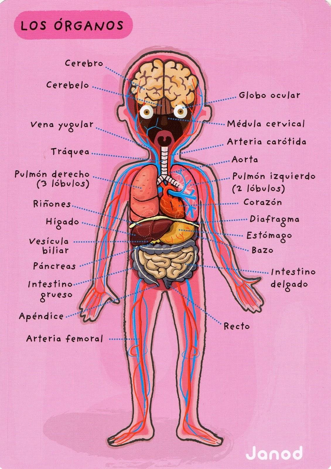 Excepcional Cuerpo Diagrama De Lugares De órganos Viñeta - Imágenes ...