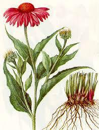 Equinacea planta, Fichas de Plantas