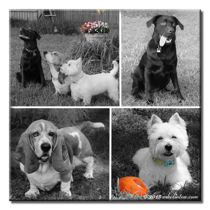Collage of trio of dogs in black and white