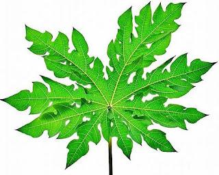 manfaat daun pepaya