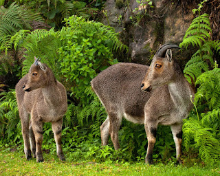 Climate Change Threatening 60% of the Endangered Nilgiri Tahr's Habitat