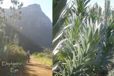 Kirstenbosch with silver trees