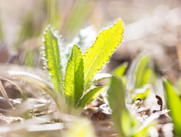 ensimmäiset vihreät kasvit keväällä