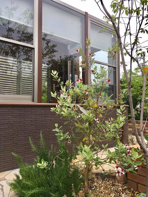 ガーデンルームココマの近くにフェイジョアを植えています♪