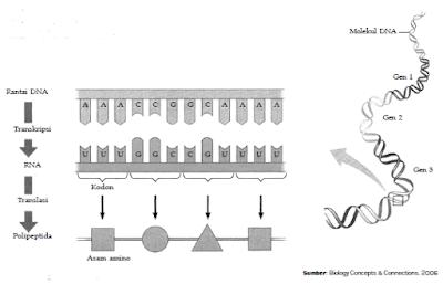 Penjelasan Proses Metabolisme Protein Dalam Tubuh
