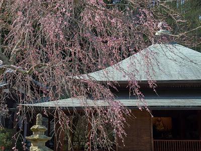 Shidare-zakura (Prunus pendula Maxim.) blossoms
