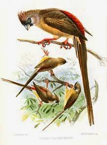 pajaro raton dorsao rojo Colius castanotus