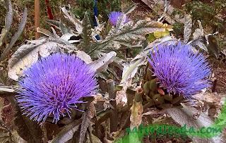 flores de alcachofera