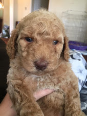 Mini Apricot Goldendoodles Available by June, Males and Females, 30 to 35 lbs