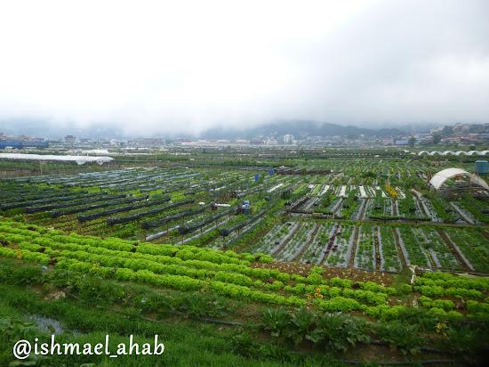 Strawberry Farm in La Trinidad, Benguet