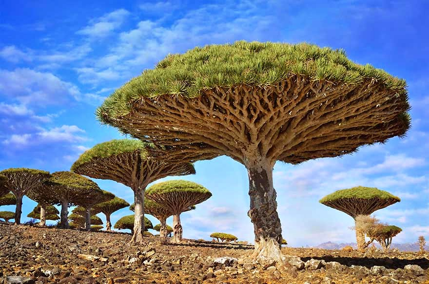 #9. The Dragon Blood tree in Yemen - 16 Of The Most Magnificent Trees In The World.