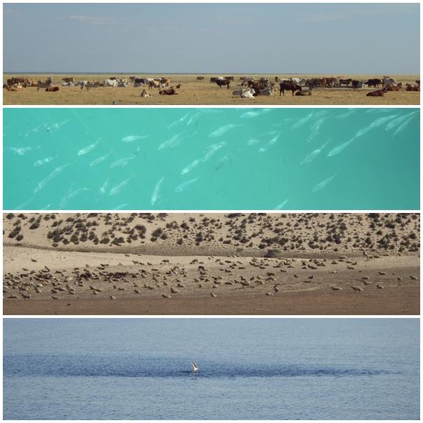 Australien, Kühe, Weide, Fische, Fisch-Schwarm, Schafe