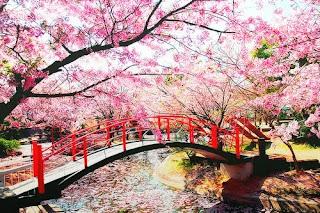 panorama pemandangan nuansa bunga sakura jepang
