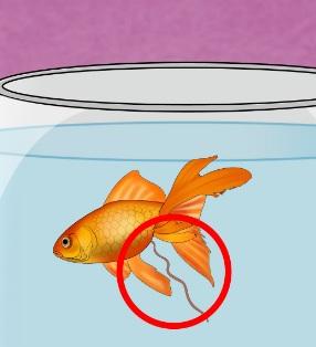 Japon balığı dışkısı uzuyor