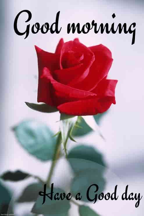 good morning wallpaper with red rose