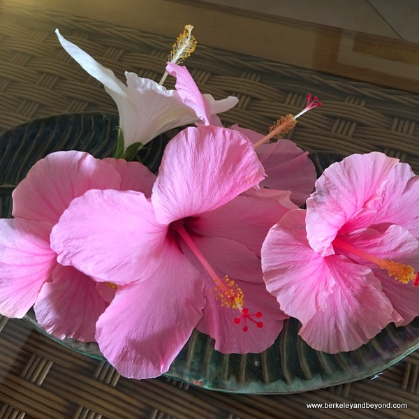 pink hibiscus greeting in guest room at Sugar Cane Club in St. Peter, Barbados