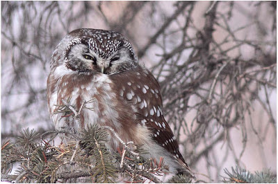 Christian Artuso: Birds, Wildlife: And then a Boreal Owl... - photo#40