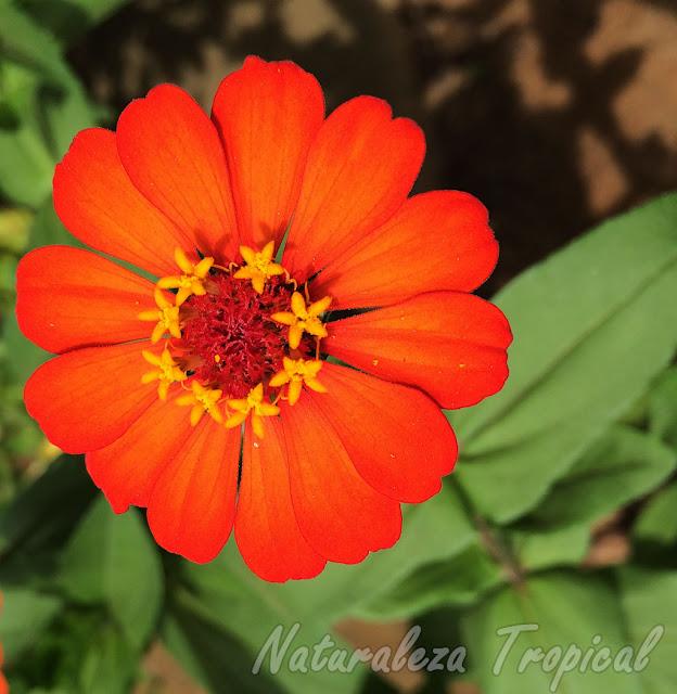 Variedad anaranjada de la floración de un Clavelón, género Zinnia