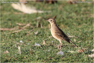 https://bioclicetphotos.blogspot.fr/search/label/Pipit%20africain%20-%20Anthus%20cinnamomeus%20ETP