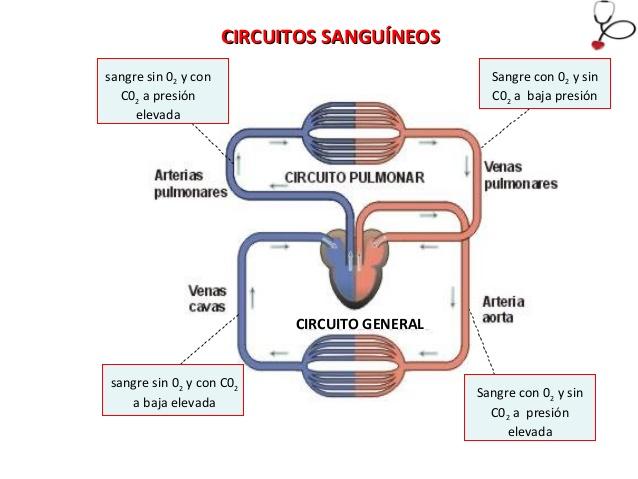 Circuito Circulatorio : Mi de quinto esquema del aparato circulatorio