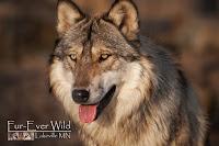 Fur-Ever Wild Wolf