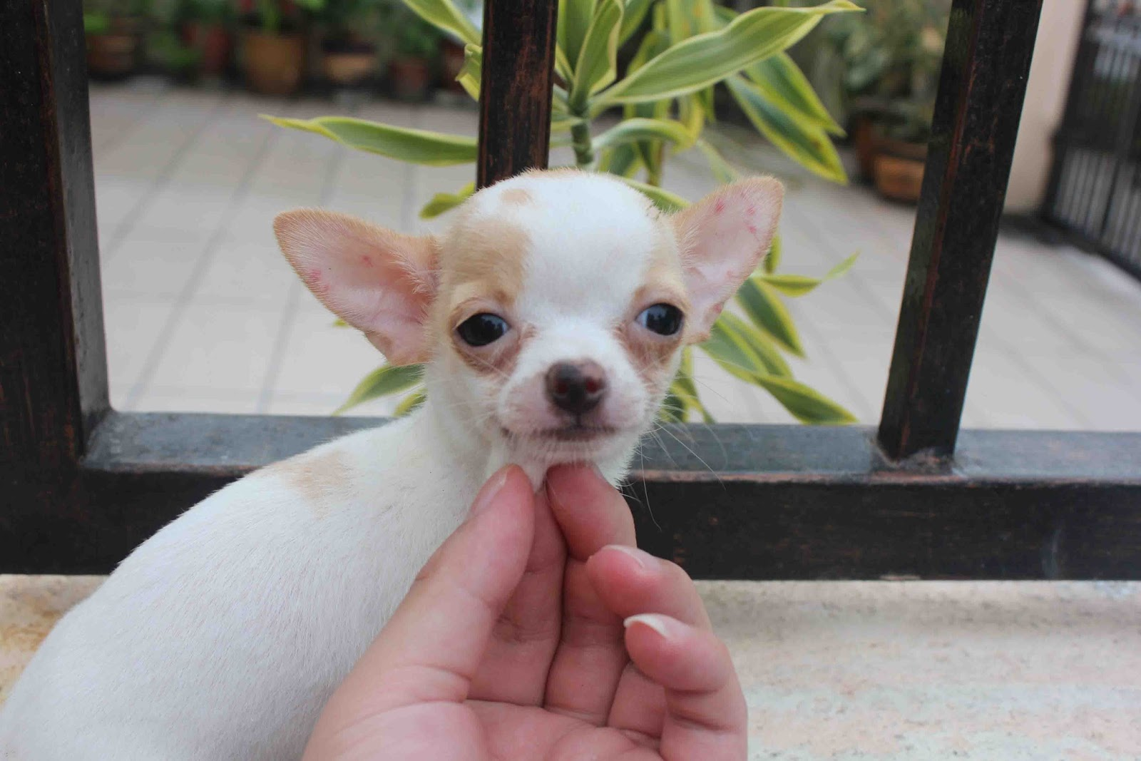 LovelyPuppy Short Coat BrownWhite TCup ChiHuaHua Puppy