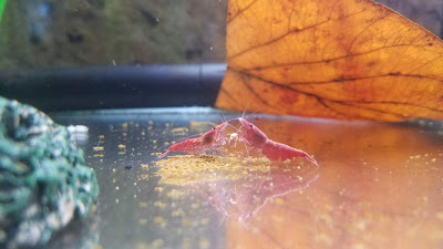 Red cherry shrimp fighting over Hikari Crab Cuisine pellet