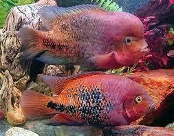 Ikan Vieja Cichlid