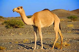 Unta Arab Yang Berbahaya