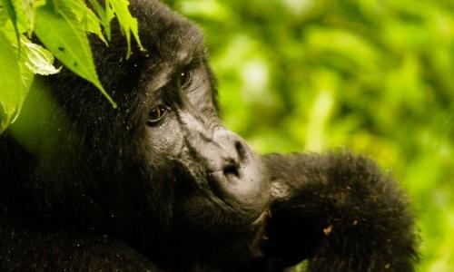 Gorilas%2bde%2bmonta%25c3%25b1a%2by%2bballenas%2bde%2baleta%2bdejan%2bestar%2ben%2bpeligro%2bcr%25c3%25adtico%2bextinci%25c3%25b3n