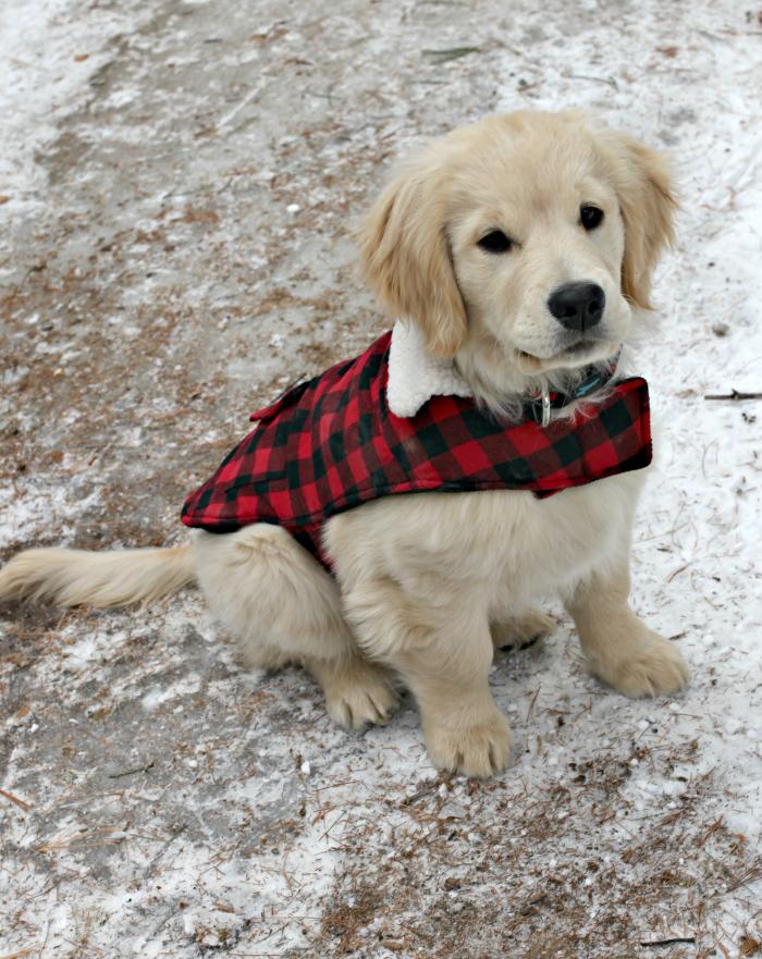 Golden puppy winter - www.goldenboysandme.com